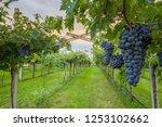 grape harvest italy | Shutterstock . vector #1253102662