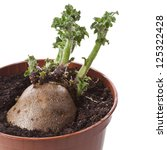 Potato Sprouts In Flower Pot...
