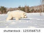 samoyed husky puppy dog playing ... | Shutterstock . vector #1253568715