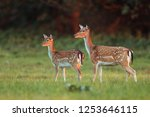 doe and fawn fallow deer  dama... | Shutterstock . vector #1253646115