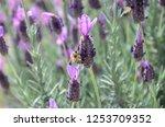 silver anouk spanish lavender | Shutterstock . vector #1253709352