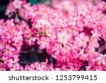 Small photo of Pink Mock Azalea flowers or Addendum flower,Addendum multiform, Desert Rose .beautiful pink flower in garden