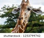 cute giraffe face in the... | Shutterstock . vector #1253799742