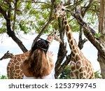 giraffe eating grass at the... | Shutterstock . vector #1253799745