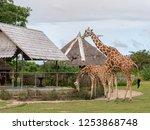 nov 15 2018 tourists feeding... | Shutterstock . vector #1253868748