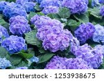 blue hydrangeas flowers in the... | Shutterstock . vector #1253938675
