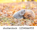 Stock photo tiny kitten and mongrel puppy sleep together on autumn leaves at sunset empty space for text 1254066955
