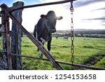 Dairy Cows In Green Field  Blue ...