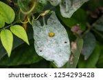 twenty two spotted lady beetle... | Shutterstock . vector #1254293428