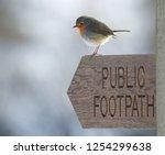 Robin  Erithacus Rubecula  On...