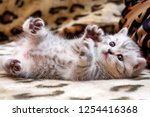 Stock photo little cute spotted british kitten gray white color lies upside down on the couch lifting paws up 1254416368