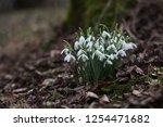 flowers snowdrops in nature in... | Shutterstock . vector #1254471682