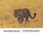 Beautiful Walking Leopard ...