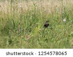 nightingale in the grass in the ... | Shutterstock . vector #1254578065