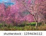 wild himalayan cherry flower ... | Shutterstock . vector #1254636112