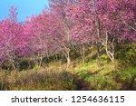 wild himalayan cherry flower ... | Shutterstock . vector #1254636115