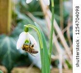 closeup of honey bee  apis... | Shutterstock . vector #1254704098