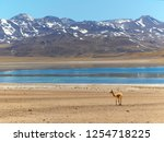 vicunas is a wild camel living... | Shutterstock . vector #1254718225