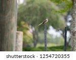 juvenile northern mockingbird ... | Shutterstock . vector #1254720355