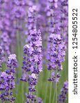 lavender  lavandula... | Shutterstock . vector #1254805522