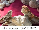 The  Bearded Dragon In The Pet...