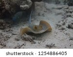 bluespotted stingray on coral... | Shutterstock . vector #1254886405