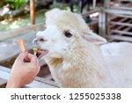 alpaca  hands are feeding...   Shutterstock . vector #1255025338