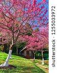 little hut in cherry blossom... | Shutterstock . vector #1255033972