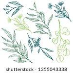 vector eucalyptus hand drawn... | Shutterstock .eps vector #1255043338