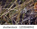 pyrgus albescens or the white... | Shutterstock . vector #1255048942