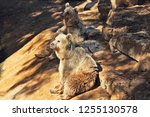 the big brown bear posing for... | Shutterstock . vector #1255130578