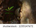 lizard chameleon land tree... | Shutterstock . vector #1255147672