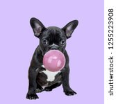 Small photo of Funny collage. Pug dog chewing bubble gum on purple background.