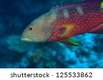 Lyretail grouper (Variola louti) in the coral reef - stock photo