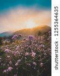 violet verbena flowers field on ... | Shutterstock . vector #1255364635