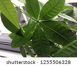 money tree close up leaves...   Shutterstock . vector #1255506328