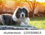 adult caucasian shepherd dog....   Shutterstock . vector #1255508815