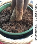 twisted money tree root potted...   Shutterstock . vector #1255517392