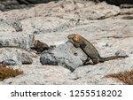 south plaza island  galapagos   ... | Shutterstock . vector #1255518202