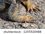 south plaza island  galapagos   ... | Shutterstock . vector #1255520488