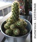 indoor cactus plant houseplant...   Shutterstock . vector #1255546468