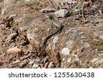 an italian wall lizard ... | Shutterstock . vector #1255630438