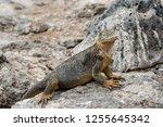 south plaza island  galapagos   ... | Shutterstock . vector #1255645342