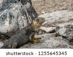 south plaza island  galapagos   ... | Shutterstock . vector #1255645345