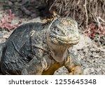 south plaza island  galapagos   ... | Shutterstock . vector #1255645348