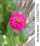 common zinnia   elegant zinnia  ... | Shutterstock . vector #1255667752