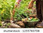 female harvesting vegetables... | Shutterstock . vector #1255783708