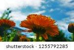 orange calendula flower against ... | Shutterstock . vector #1255792285