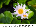 beautiful lotus blossoming in... | Shutterstock . vector #1255855315