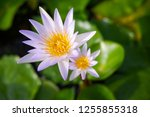 beautiful lotus blossoming in... | Shutterstock . vector #1255855318